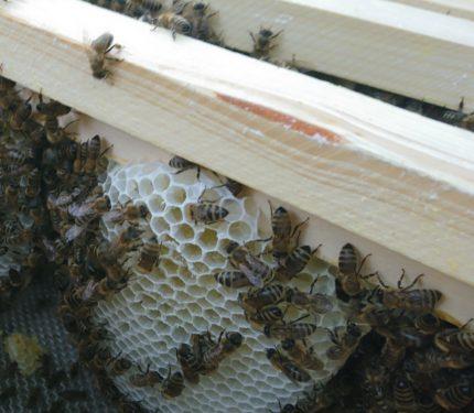 Bienen Geisenheim